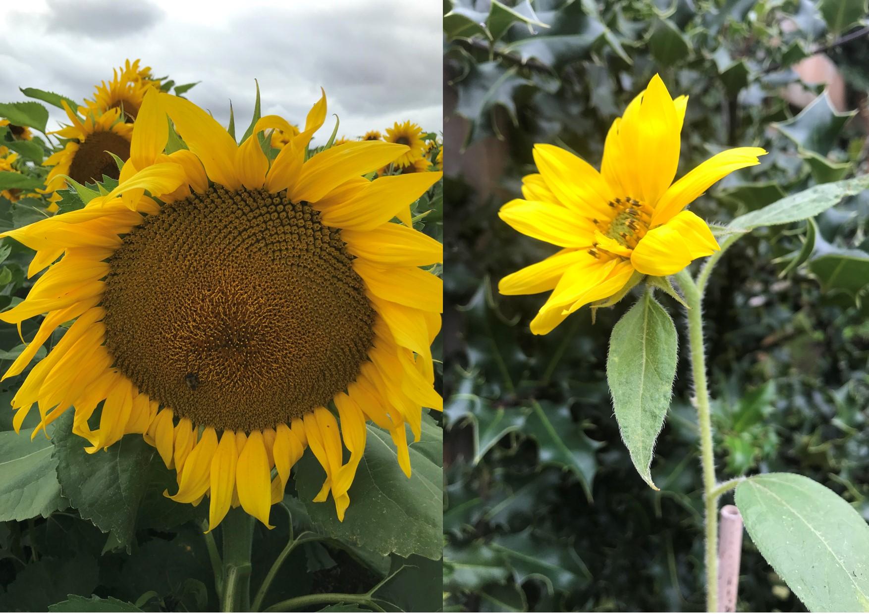 sunflowermont
